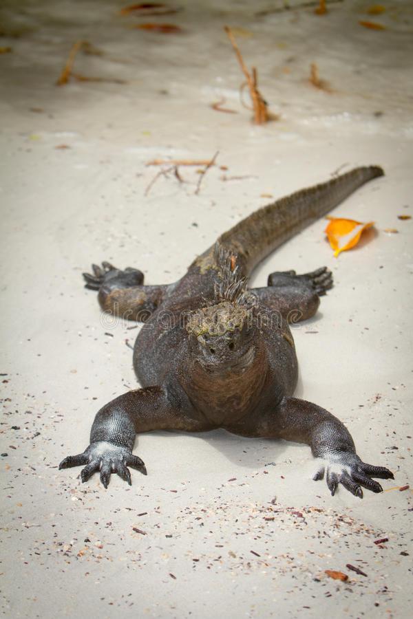 Download Iguana on the beach stock image. Image of lizard, color - 26861979