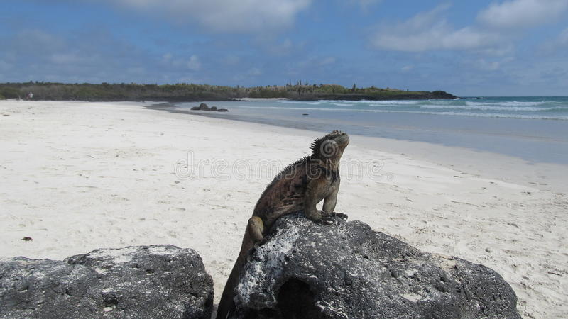Iguana on a beach of Galapagos Islands. Iguana on a beach in Galapagos Islands, Ecuador royalty free stock photo