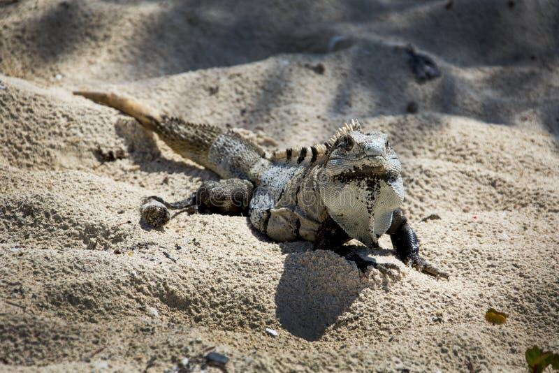 Download Iguana On Beach - Ruins Of Tulum Cozumel Stock Image - Image: 27984805