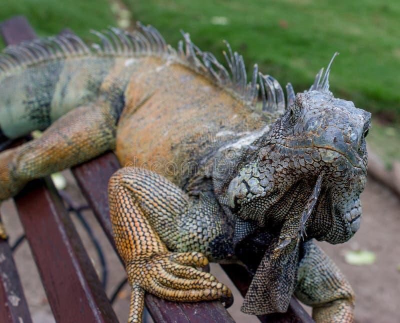 Iguana On A Bench #1 royalty free stock photo