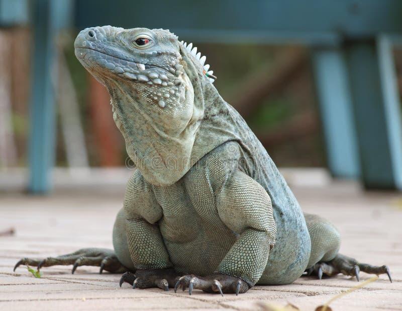 Iguana blu Cayman Islands fotografia stock libera da diritti