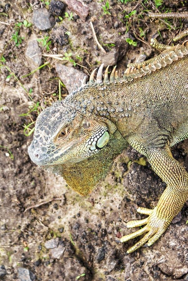 Iguana blu di Grand Cayman, specie in pericolo di estinzione di lucertola Ritratto dell'iguana verde Fauna selvatica dell'iguana  fotografie stock