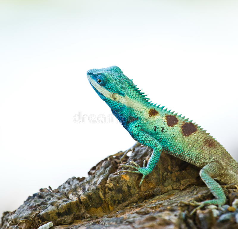Iguana blu sul ramo di albero immagine stock