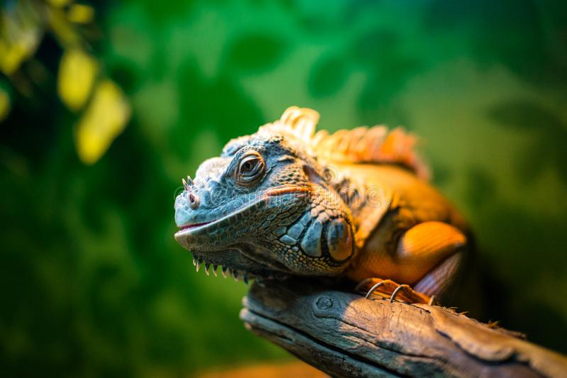 Iguana on a branch in a contact zoo royalty free stock images