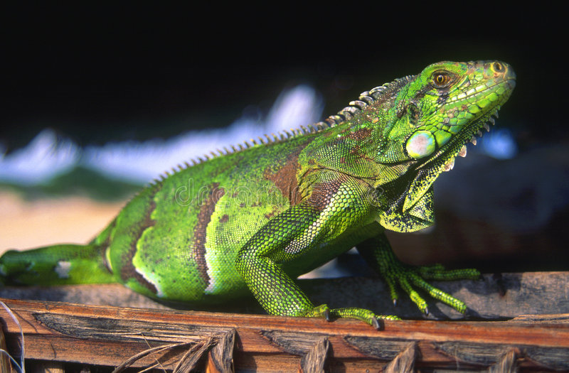 Iguana brasileña imagenes de archivo