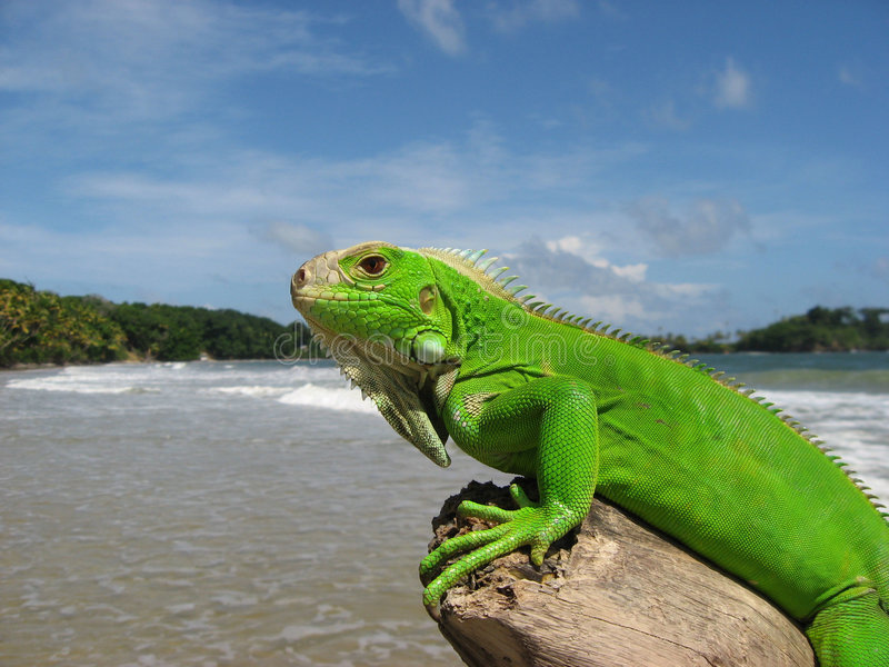 Iguana in Caribbean Beach Scene royalty free stock photos