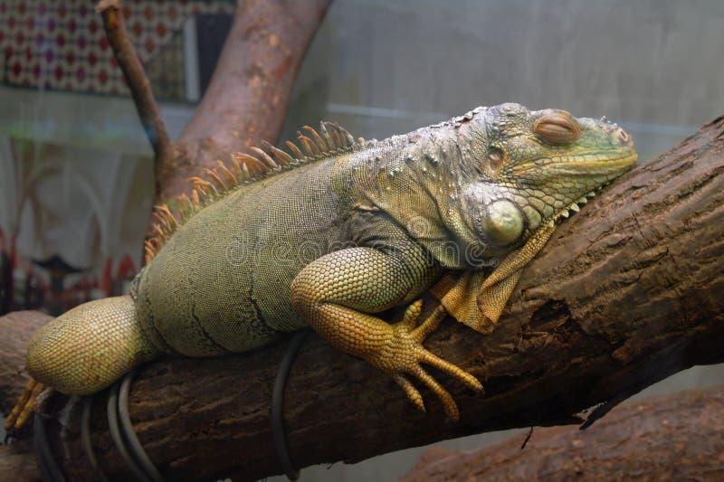 Iguana che dorme sull'albero immagini stock libere da diritti