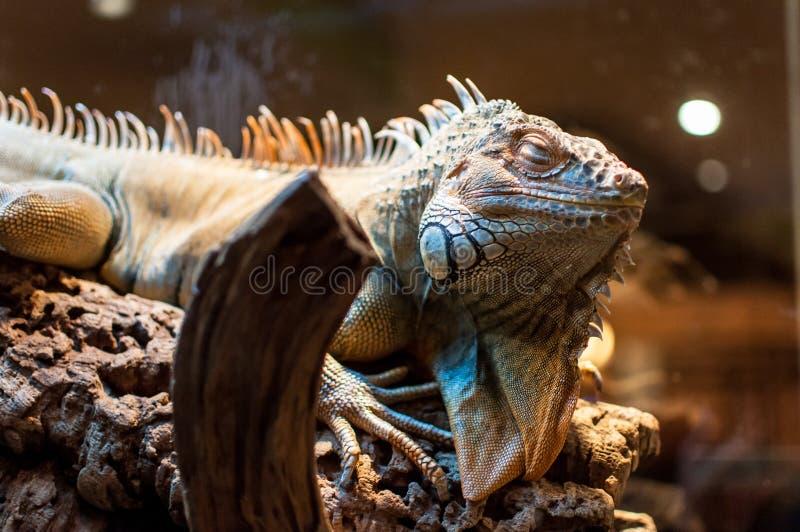 Iguana che si siede su un ramo nel terrario fotografia stock libera da diritti