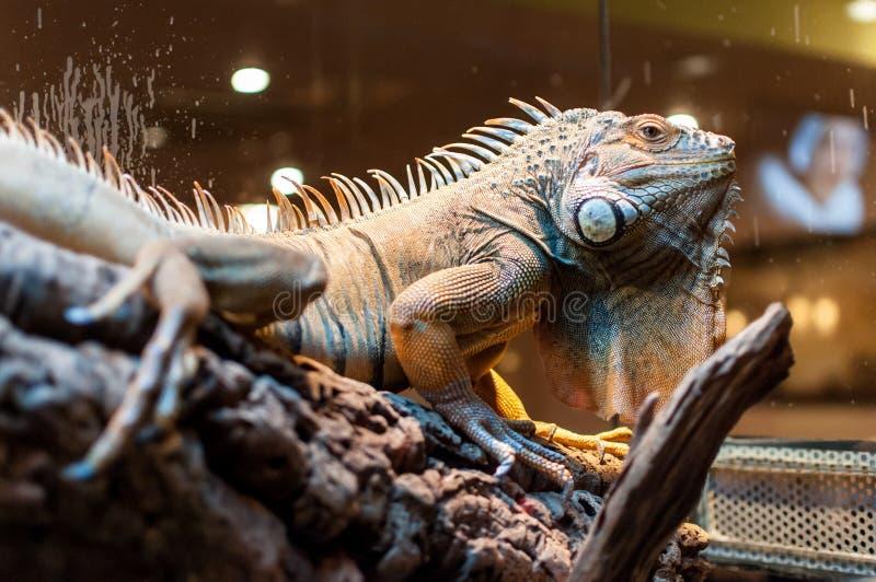 Iguana che si siede su un ramo nel terrario fotografie stock