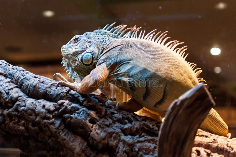 Iguana che si siede su un ramo nel terrario fotografia stock