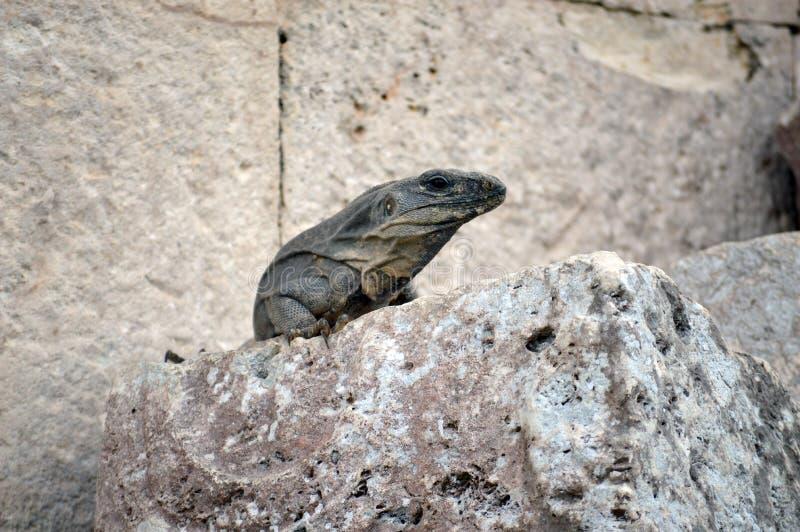 A iguana cinzenta fotografia de stock royalty free