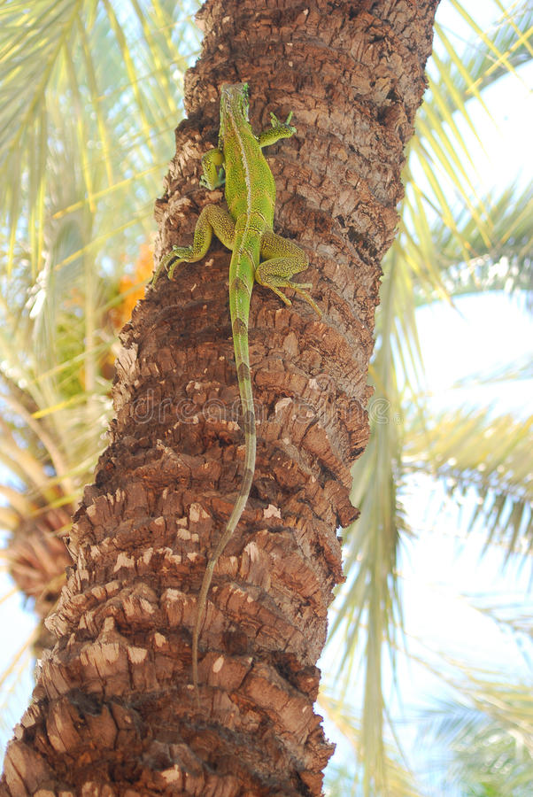 Iguana climbing tree royalty free stock photo