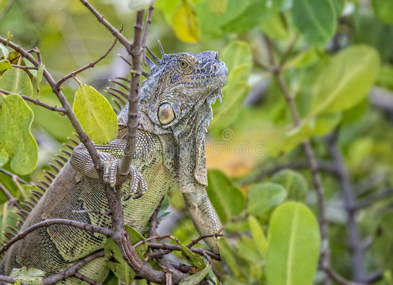 Iguana climbing a tree with dark green leaves royalty free stock image