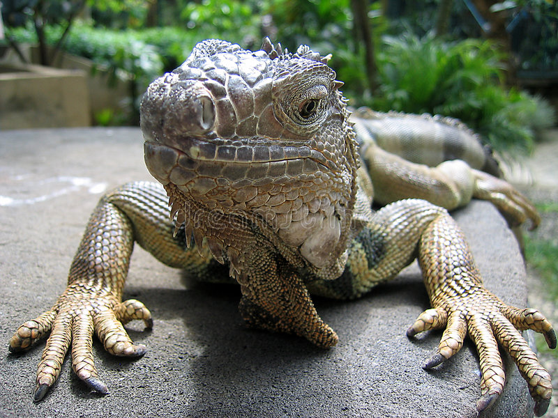Download Iguana Close Up Stock Photo - Image: 1402120