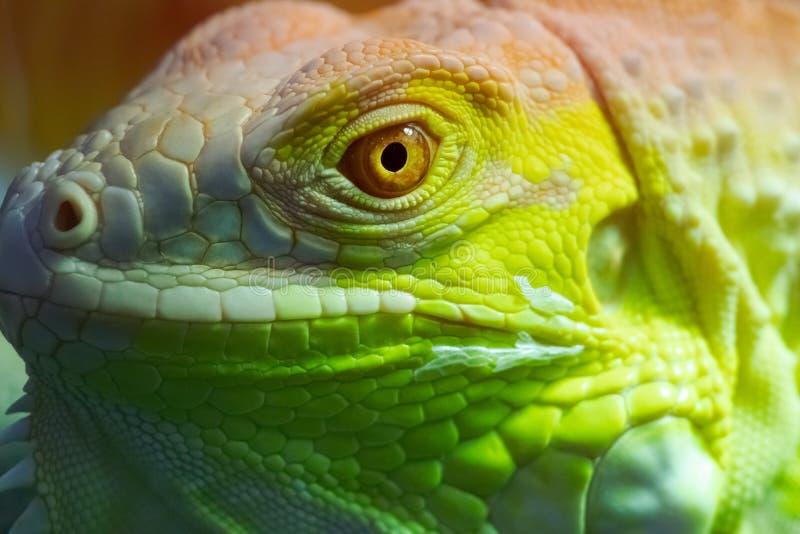Iguana close up macro animal portrait photo.  royalty free stock photography