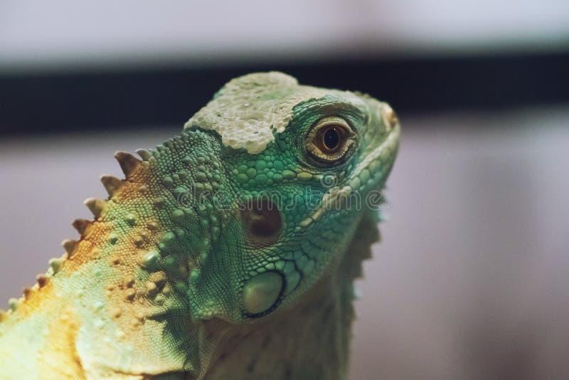 Iguana close up macro animal portrait photo.  stock photo