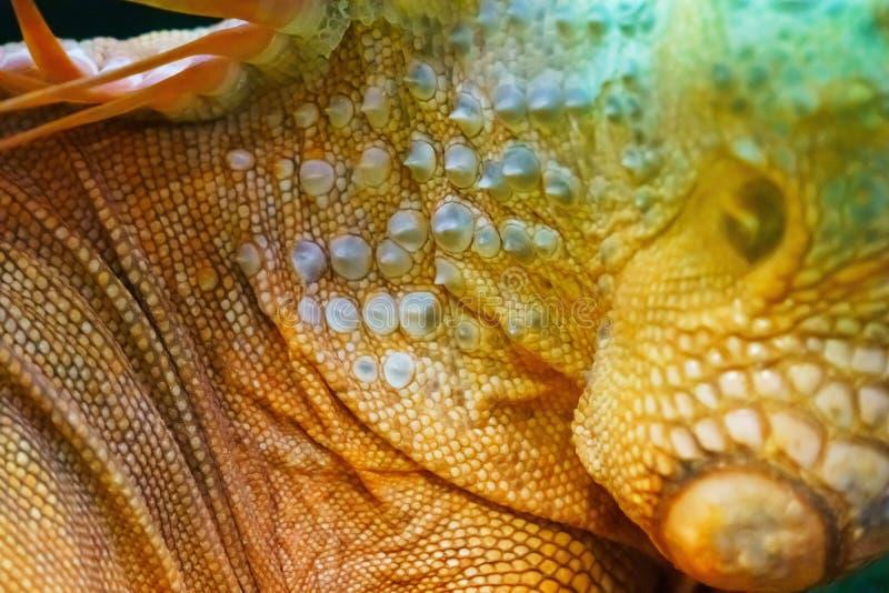 Iguana close up macro animal portrait photo.  stock photos
