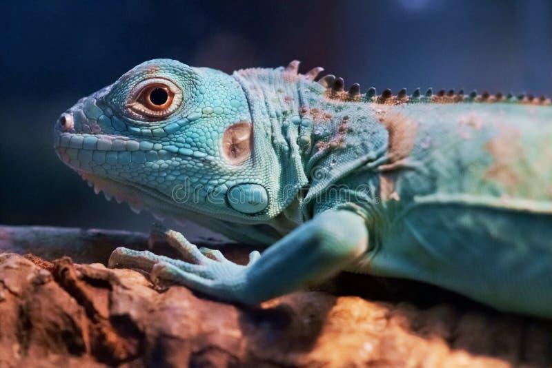 Iguana close up macro animal portrait photo.  royalty free stock photos