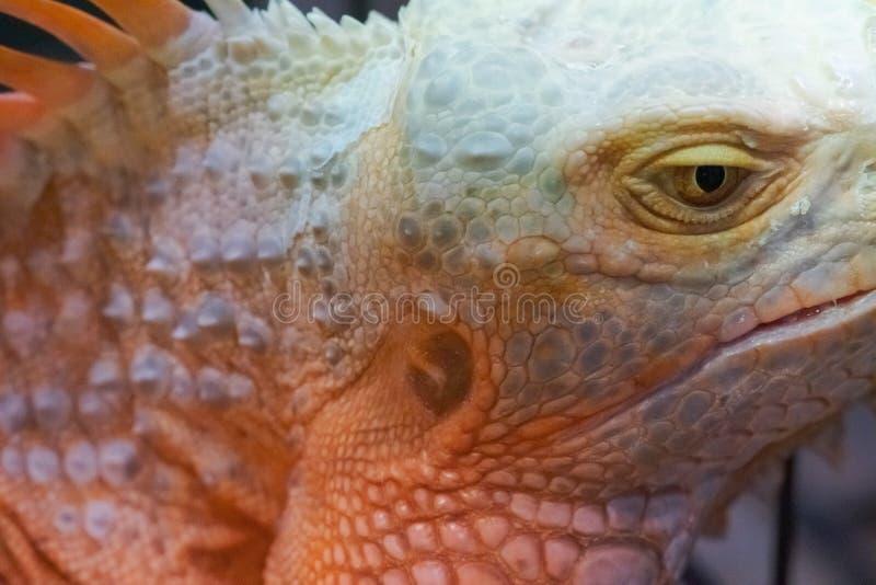 Iguana close up macro animal portrait photo.  royalty free stock photo