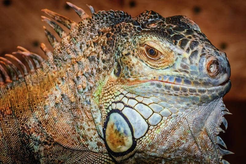 Iguana. Close up Portrait of Iguana royalty free stock photo