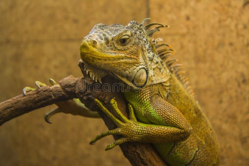 Iguana. Close up shot of a green Iguana resting on a tree branch stock photos