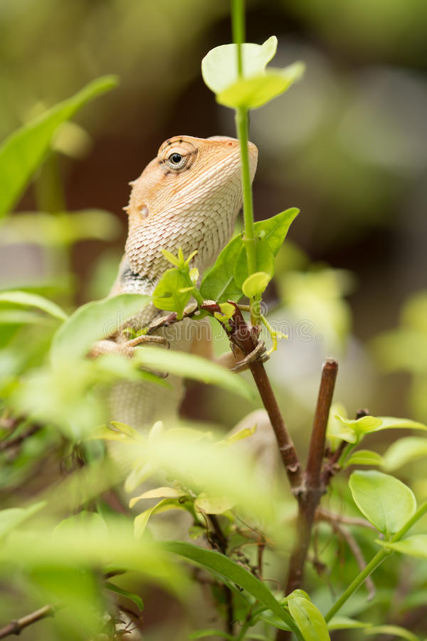 Iguana. Close up Iguana on the tree stock image