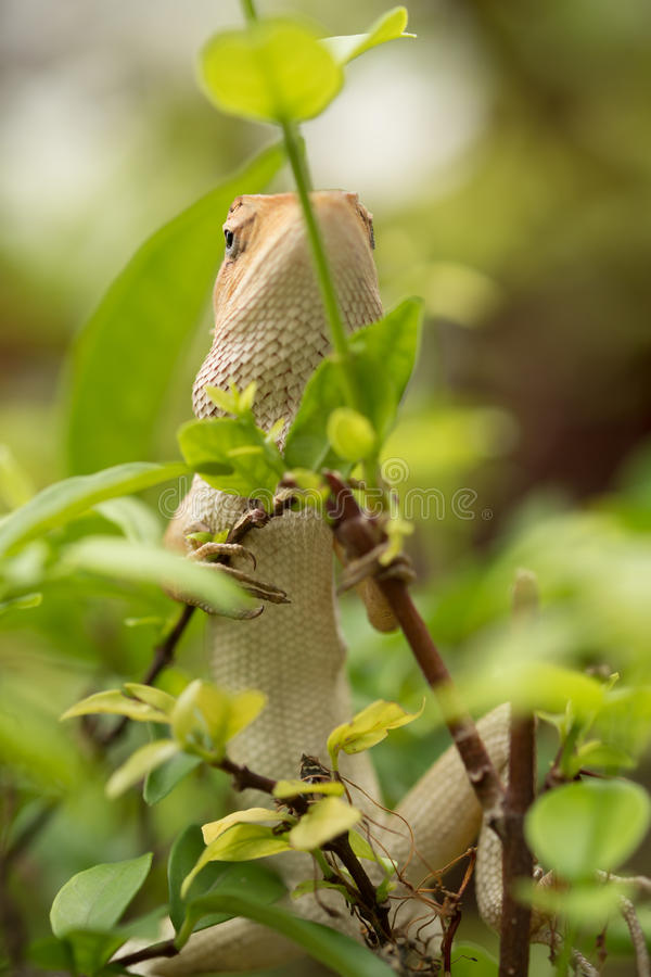 Iguana. Close up Iguana on the tree stock photography