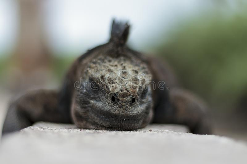 Iguana close up view stock photo