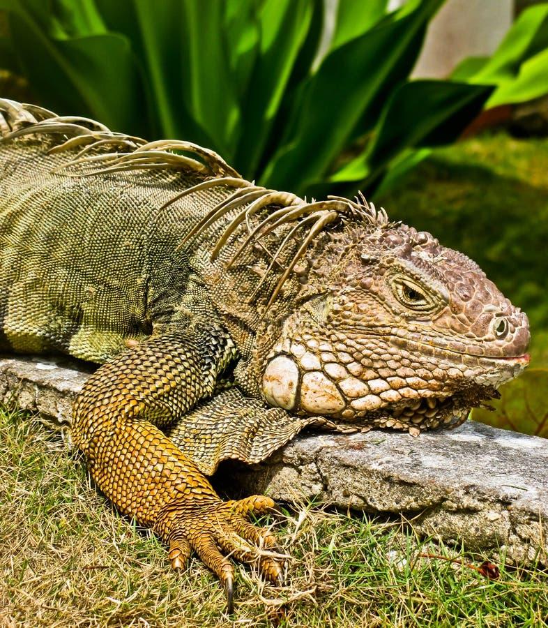 Iguana closeup royalty free stock photos