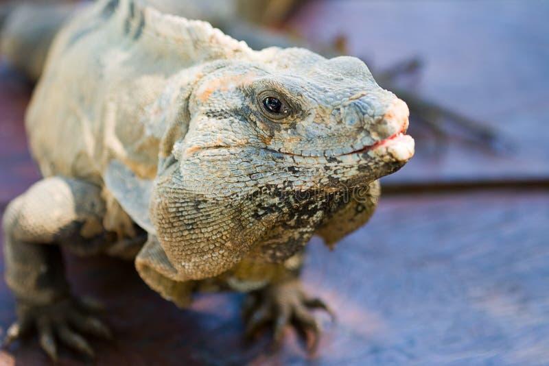 Iguana in closeup on dark background royalty free stock image