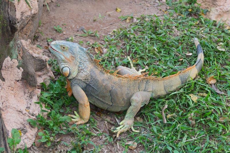 Iguana colorida fotografía de archivo
