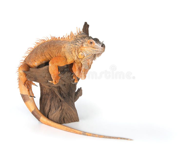 Iguana común (el rojo morph) que se incorpora en cierre de la madera de deriva fotografía de archivo libre de regalías