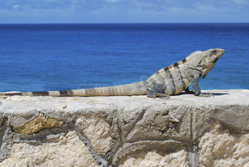 Iguana con i precedenti del mare caraibico immagini stock