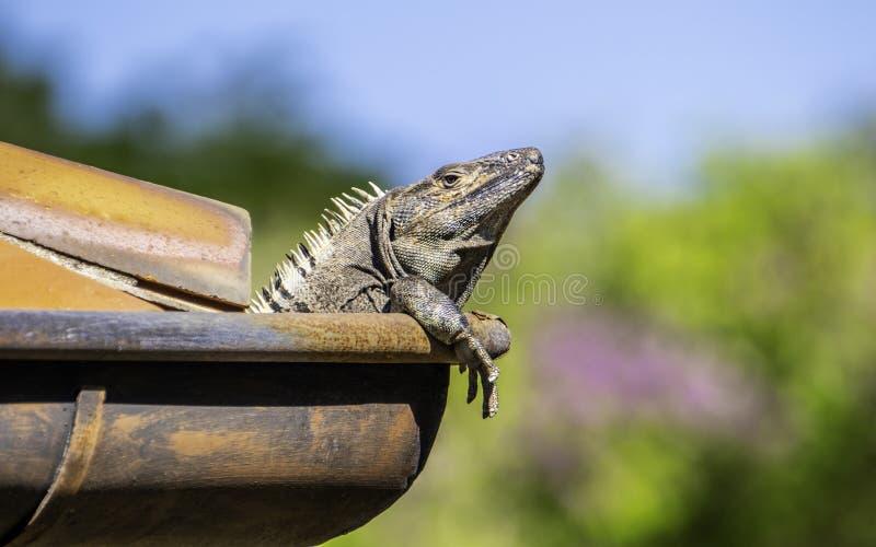 Iguana coperta di spine nera che va in giro sul tetto fotografia stock libera da diritti