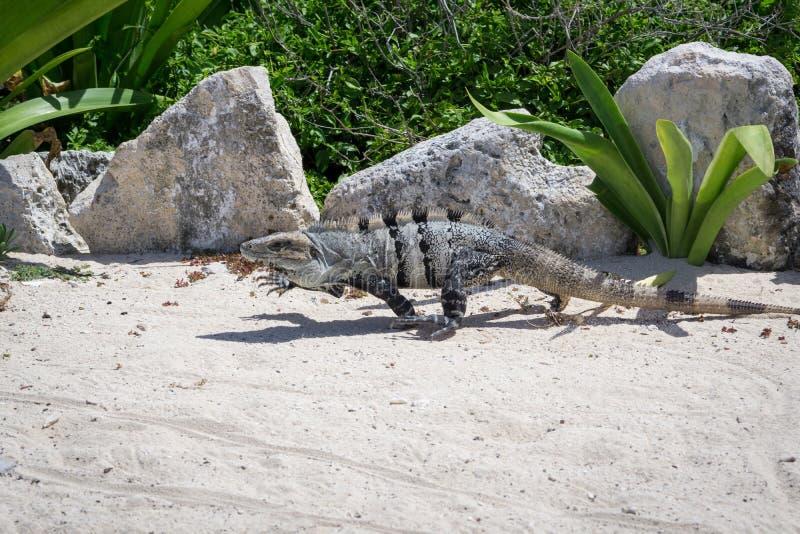 Iguana coperto di spine-munita messicano corrente immagini stock