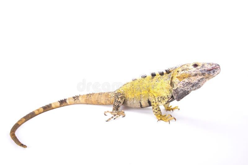 Iguana coperto di spine-munita messicano (Ctenosaura pettinato) fotografie stock libere da diritti