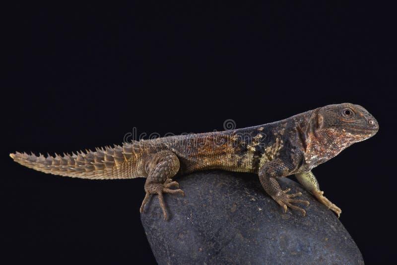 Iguana coperto di spine-munita n del ¡ di Yucatà (defensor di Ctenosaura) immagini stock libere da diritti