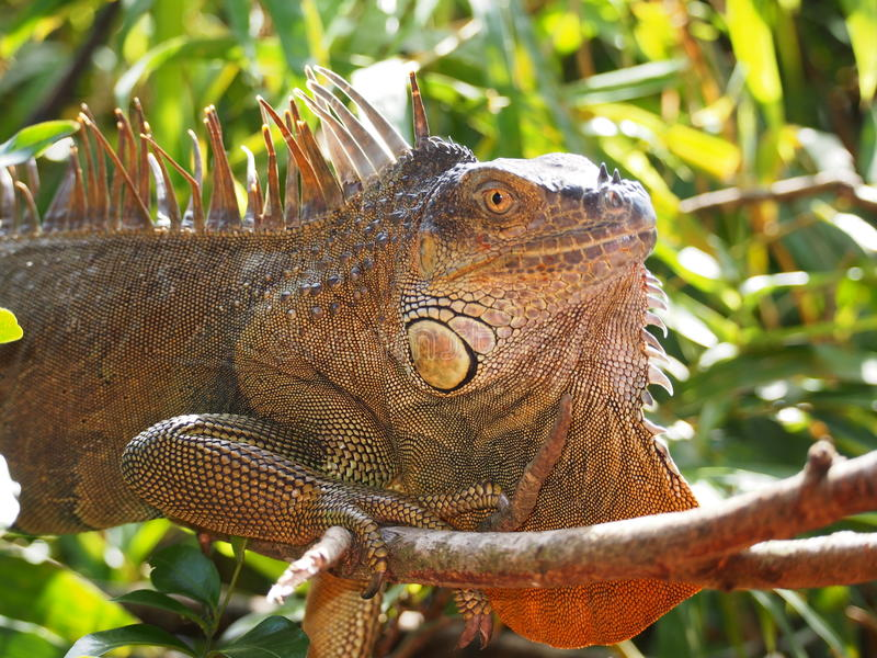 Iguana in Costa Rica stock photography