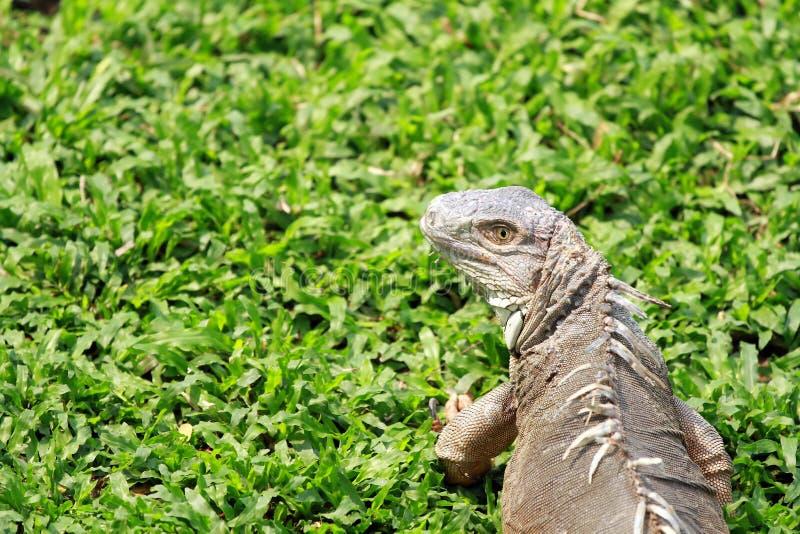 Iguana crawling on the green glass. Shot of iguana crawling on the green glass royalty free stock image