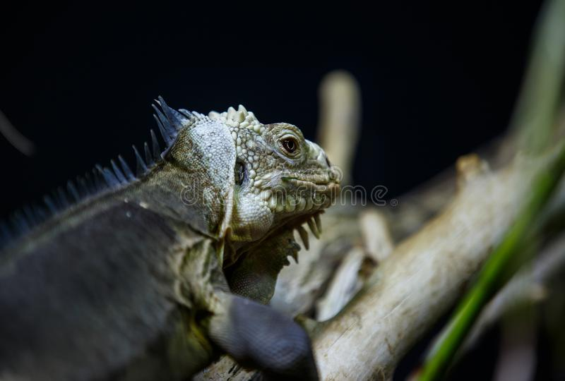 Iguana crawling on branch against dark background stock images