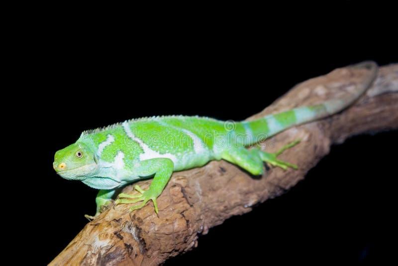 Iguana crestata del Fijian fotografia stock