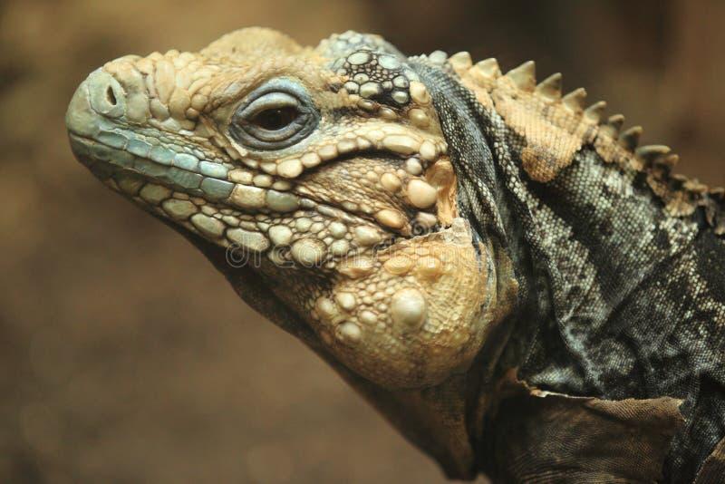 Iguana cubana imagens de stock