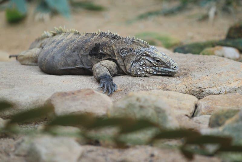 Iguana cubana foto de stock