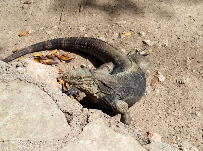 Iguana cubana immagini stock