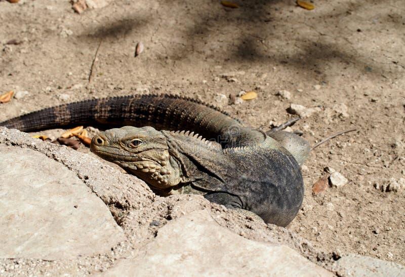 Iguana cubana fotografie stock libere da diritti