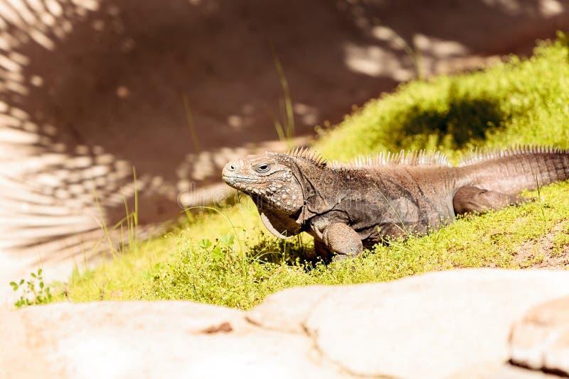 Iguana cubana conhecida como o nubila de Cyclura núbil fotos de stock