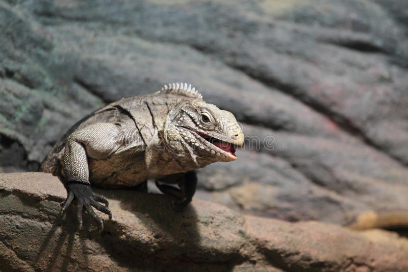 Iguana cubana da rocha fotografia de stock