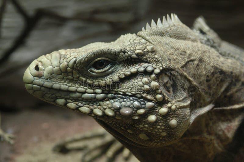 Iguana cubana da rocha imagem de stock