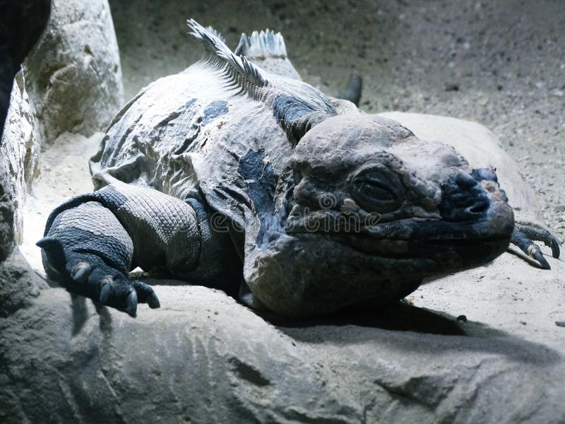 Iguana cubana sonolento da rocha imagem de stock