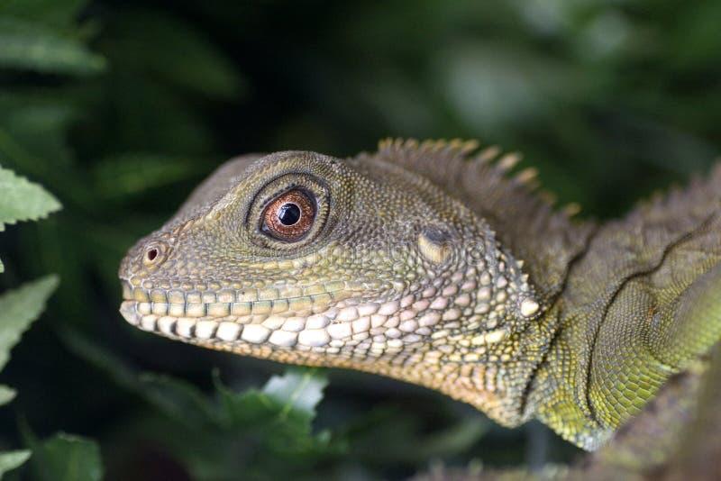 Iguana da esmeralda fotos de stock